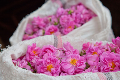 Ethiopian Damask Roses Harvested for Dr.Hauschka Skin Care.  (PRNewsFoto/Dr.Hauschka Skin Care)