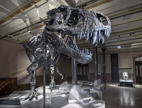 An original Tyrannosaurus rex skeleton goes on show at the Museum of Natural History Berlin. Photographer: ...