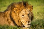 CITES Parties fail to agree on full ban on international trade in lion parts