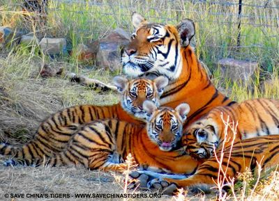 Three South China tiger cubs were recently born at Save China's Tiger's Laohu Valley Reserve in South Africa.  Save China's Tigers' successful breeding and rewilding project in South Africa has contributed to the steady increase in the number of the world's most endangered tiger, the South China Tiger.