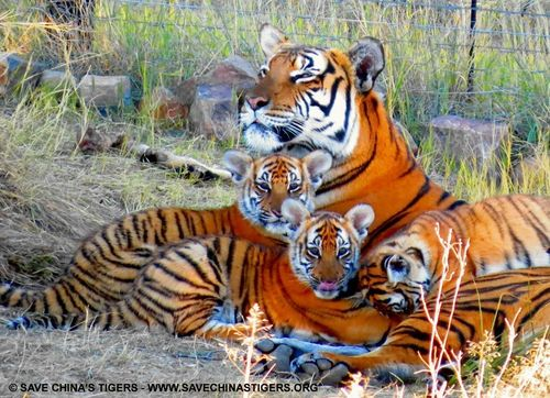 Three South China tiger cubs were recently born at Save China's Tiger's Laohu Valley Reserve in South Africa. Save China's Tigers' successful breeding and rewilding project in South Africa has contributed to the steady increase in the number of the world's most endangered tiger, the South China Tiger. (PRNewsFoto/The Chinese Tiger Project)