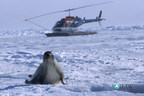 An adult harp seal looks ahead as a helicopter lands in the Gulf of St. Lawrence, Canada in 2003.