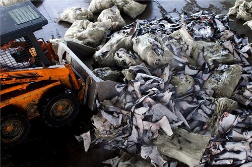 New Photos and Video Highlight Global Extent of Shark Fin Trade