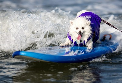 Surf Dog Ziggy Makes Waves and Helen Woodward Animal Center's 9th Annual Surf Dog Surf-A-Thon, Presented by Blue Buffalo. (PRNewsFoto/Helen Woodward Animal Center)