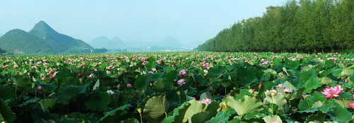 Chinese Lotus Festival Celebrates 300 Years of Blooming.  (PRNewsFoto/City Channel of CRI Online)