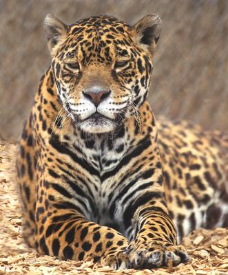 Jaguar at The Wild Animal Sanctuary (PRNewsFoto/The Wild Animal Sanctuary)