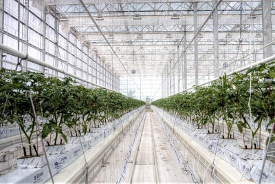 Tomatoes Growing at the BrightFarms Chicagoland Greenhouse