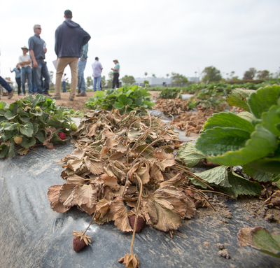 California strawberry commission continues research for Soil borne diseases