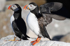 Puffins from Maine feature live at explore.org/birds.  (PRNewsFoto/National Audubon Society)