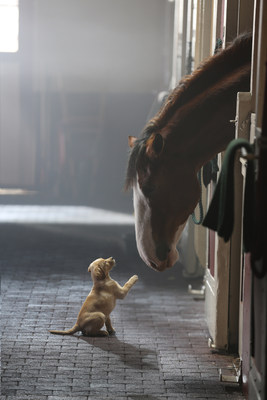 """A Super Bowl fan-favorite by Anheuser-Busch received an Emmy(R) nomination in the Outstanding Commercial category. """"Puppy Love"""" tells the story of a 10-week old puppy that forges a special bond with the Budweiser Clydesdales at Warm Springs Ranch, Budweiser's Clydesdale breeding facility. The canine star of the ad became a viral sensation after his debut, driving more than 51 million YouTube views, more than 1 million Facebook likes and even launching his own Twitter handle, @BudweiserPuppy. (PRNewsFoto/Anheuser-Busch)"""