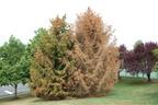 (Philadelphia, PA) Spruce tree damage caused by DuPont Imprelis. For information visit www.TreeDamageInfo.com. Source: Weinstein Kitchenoff & Asher LLC.  (PRNewsFoto/Weinstein Kitchenoff & Asher, LLC)
