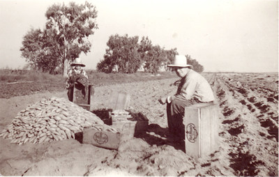 """Joe and Mable Alvernaz, parents of """"Sweet Potato Joe"""", harvest sweet potatoes from one of their fields near Livingston, CA, in the late 1930s.  Joe and Mable Alvernaz began what is now a fourth-generation family farm that provides fresh sweet potatoes to a number of customers, including Souplantation restaurants throughout Southern California."""