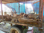 Bolivian Lions Ready To Be Released