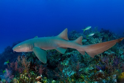 Nurse sharks can be seen while diving in the British Virgin Islands. (PRNewsFoto/The Pew Charitable Trusts)