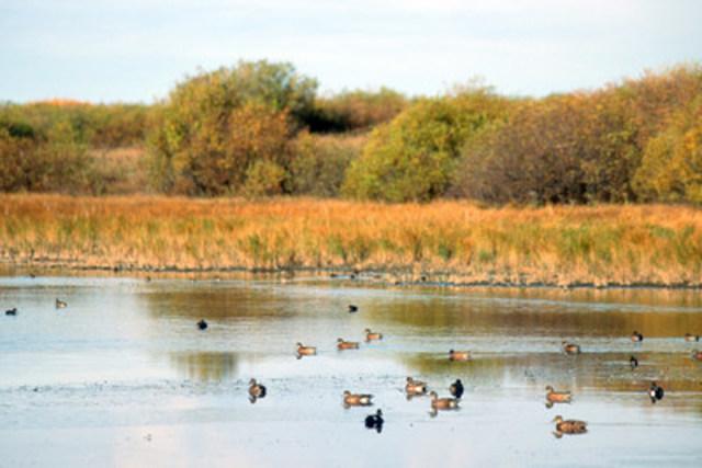 Petites et peu profondes, les fondrières des Prairies n'en sont pas moins de puissants écosystèmes. Ces zones de reproduction de la sauvagine, parmi les plus fécondes dans le monde, atténuent les inondations et les sécheresses. Or, elles sont constamment menacées d'être drainées (Groupe CNW/CANARDS ILLIMITES CANADA)
