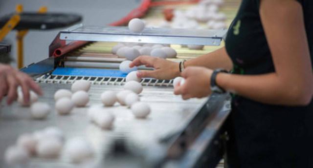 A&W verse une bourse de 100 000 $ à Soin de ferme et alimentation Canada. L'organisme réunira des spécialistes de nombreux secteurs afin d'enrichir le travail accompli dans les poulaillers au Canada et d'établir une meilleure orientation à cet égard. Il permettra à tous les Canadiens de consommer des œufs sains et abordables produits de manière viable. La photo montre des œufs d'A&W dans l'installation de production. (Services alimentaires A&W du Canada Inc.) (Groupe CNW/A&W Restaurants)