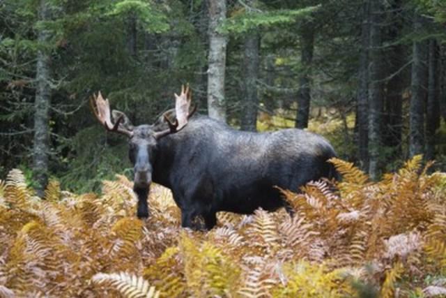 C'est le moment, pour les chasseurs de gros gibier, de s'inscrire aux tirages au sort des chasses contingentées de la Sépaq. (Groupe CNW/Société des établissements de plein air du Québec)