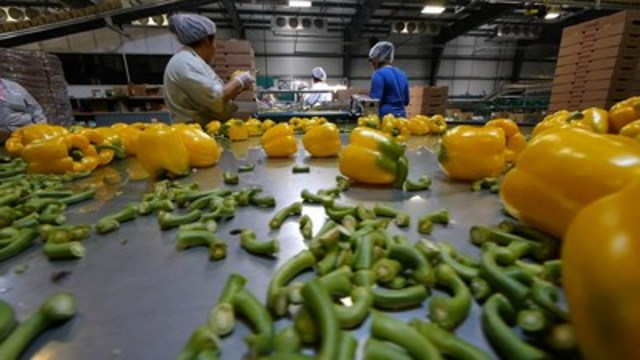 "Still from ""Migrant Dreams."" Migrant workers pack vegetables. (CNW Group/TVO)"