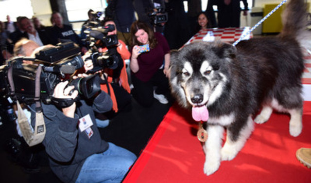 Rex, a nine-year-old Alaskan Malamute German Shepherd cross from Aberdeen Saskatchewan, was inducted into the 2016 Purina Animal Hall of Fame today for helping his family member escape a burning home on Christmas Eve. (CNW Group/Nestle Purina PetCare)