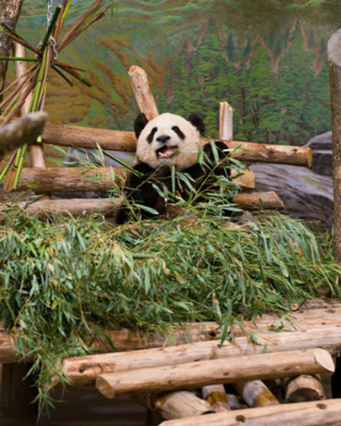 Er Shun, (Born Aug 10 2007) old giant panda, relaxing in the indoor exhibit at the VIP/Media Event at the ...