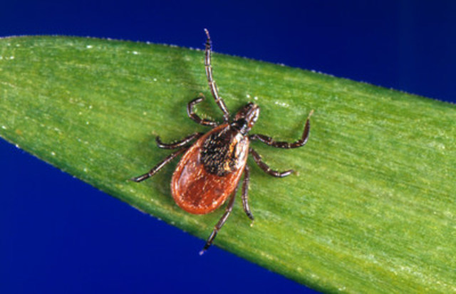 When the outdoor temperatures reach 4ºC ticks, like this adult female Deer tick, wait on a blade of grass looking for a host to crawl onto to take a blood meal. Photo credit: James Gathany (CNW Group/Canadian Animal Health Institute)