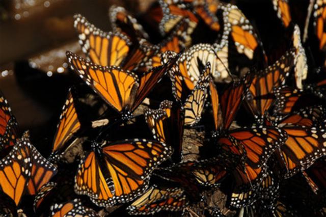 Monarch butterflies sunbathing on leaves. (CNW Group/TVO)