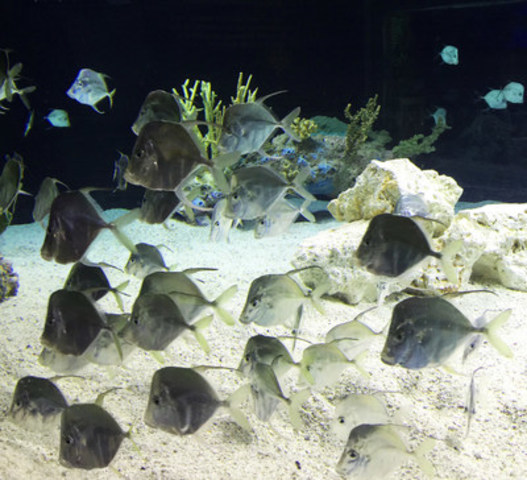 Lookdowns (CNW Group/Ripley's Aquarium of Canada)