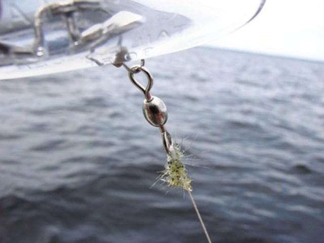 Plusieurs cladocères épineux sur un fil de pêche (Photo : Jeff Gunderson) (Groupe CNW/Ministère des Forêts, de la Faune et des Parcs)