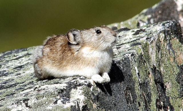 Pica à collier (Groupe CNW/Comité sur la situation des espèces en péril au Canada)