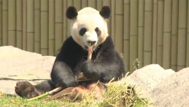 Toronto Zoo Hosts VIP Event to Preview Giant Panda Experience