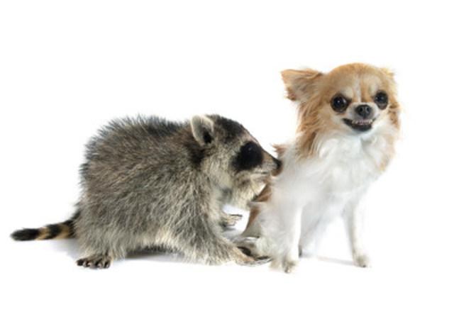 Entre décembre 2015 et août 2016, la province de l'Ontario a confirmé plus de 150 cas de rage. La vaccination de vos animaux de compagnie contre la rage est la meilleure façon de les protéger, et de protéger votre famille, contre le virus de la rage. (Groupe CNW/Institut canadien de la santé animale)