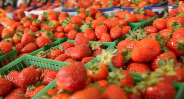Norfolk County is Canada's leading grower of strawberries. New ever-bearing varieties allow farmers to grow the fruit until fall frost. (CNW Group/Norfolk County)