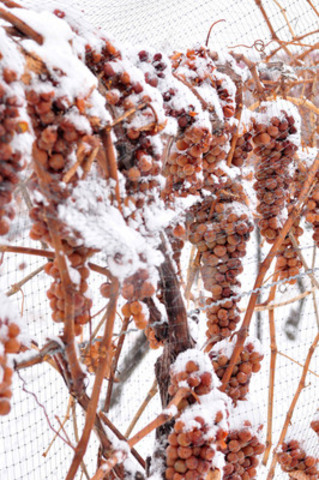 Frozen Icewine grapes ready for picking. (CNW Group/Wine Country Ontario)