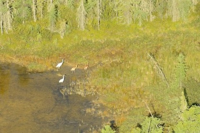 A photo from the 2016 whooping crane chick survey in Wood Buffalo National Park shows crane parents with their twin chicks. Raising twins is uncommon for whooping cranes, who usually lay two eggs but raise only one chick. (CNW Group/Parks Canada)