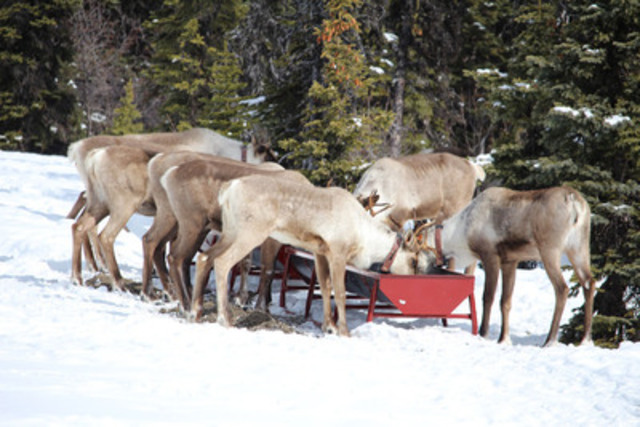 Pregnant northern caribou females feed on lichen and pellets at a trough inside the secured maternity pen in their native range outside Chetwynd, BC. Herd members were gathered in late March by members of the West Moberly and Saulteau First Nations and the project team and placed in the secured, four hectare screened pen to protect them and their calves from predators during the vulnerable birthing period. (CNW Group/West Moberly First Nations)