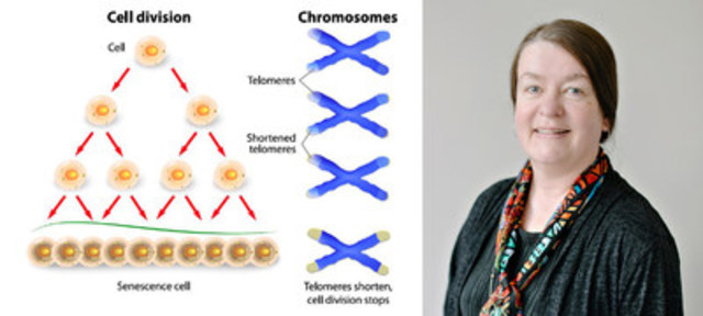 L: Telomeres are at the ends of chromosomes. Known to shorten over time, telomeres of diseased cells such as cancer and Alzheimer's disease look different from normal cells. R: Dr. Sabine Mai's research, focused on genomic instability and telomere measurement, is the basis for 3D Signatures' novel technology. (CNW Group/Centre for Imaging Technology Commercialization (CIMTEC))
