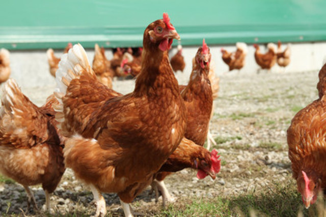 Hens on a Canadian free-range farm. (CNW Group/World Animal Protection)