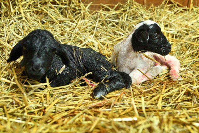 Royal (black) and Winter (white) are two new additions to the Shel-run Livestock family. The boys are just ...
