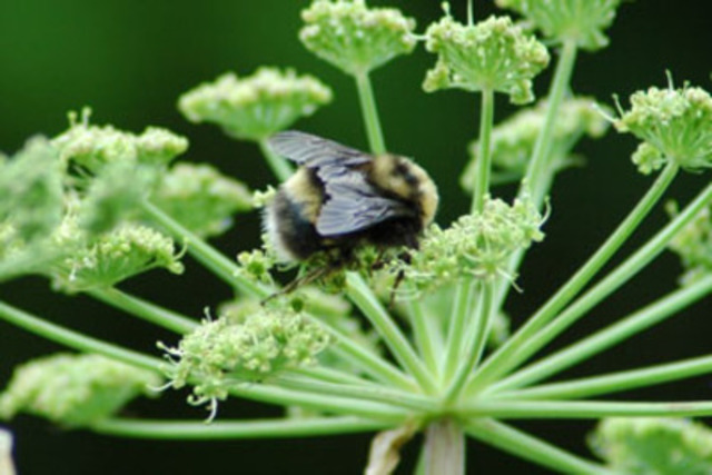 Western Bumble Bee © Syd Cannings (CNW Group/Committee on the Status of Endangered Wildlife in Canada)