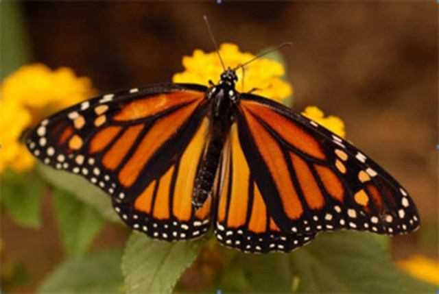 Monarch © Jessica Linton (CNW Group/Committee on the Status of Endangered Wildlife in Canada)