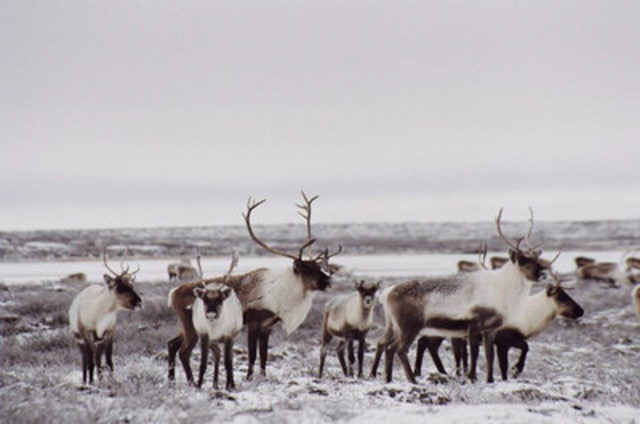 Caribou, Barren-ground population © Ann Gunn (CNW Group/Committee on the Status of Endangered Wildlife in Canada)