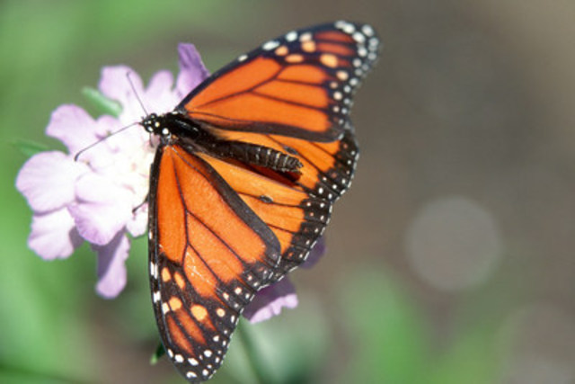 Monarch butterflies travel far distances by flying efficiently. They take advantage of air currents, soaring like many birds do. This takes less energy than constantly flapping their wings. (CNW Group/DUCKS UNLIMITED CANADA)