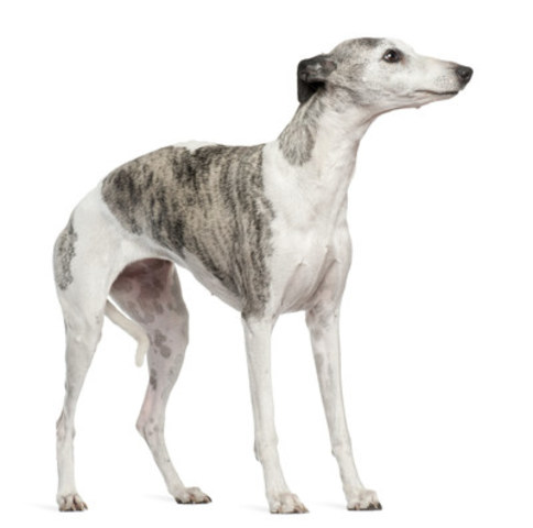 """Many dogs show several cues at once,"" Huneke says. ""Not only does this dog have its tail between its legs, it is also showing the white of its eye, has a curved back, mouth is closed, ears are back and down…and just has an overall appearance of stress. This dog is nervous."" (CNW Group/Canadian Animal Health Institute)"
