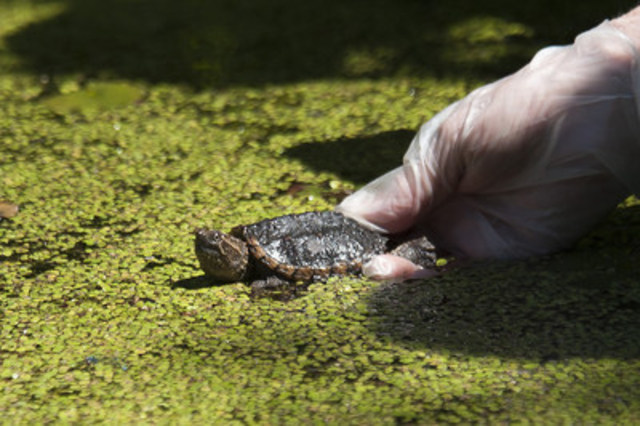 Baby snapping turtle being released into wetland habitat at Seneca College's campus on June 30, 2016. (c) WWF-Canada (CNW Group/WWF-Canada)