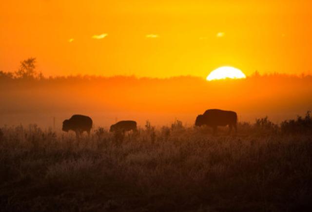 Dans les années 1890, on estime qu'il restait moins de 2 000 bisons en Amérique du Nord. La quasi-extinction de cet animal a rendu possible l'établissement de l'agriculture dans les Grandes Plaines et a changé à jamais la relation entre les humains, les bisons et la terre où ils vivent. (Groupe CNW/Parcs Canada)
