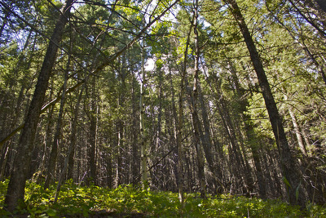 The lush forest of the Lusicich property (CNW Group/Nature Conservancy of Canada)