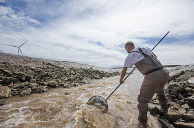 Prise d'un gaspareau près d'Amherst, en Nouvelle Écosse. Les poissons migrateurs anadromes, comme le gaspareau et l'éperlan d'Amérique, sont microplaquetés et pistés pour savoir comment ils se servent des échelles à poissons afin de remonter le courant. Crédit photo : (c)Sean Landsman Photography (Groupe CNW/CANARDS ILLIMITES CANADA)