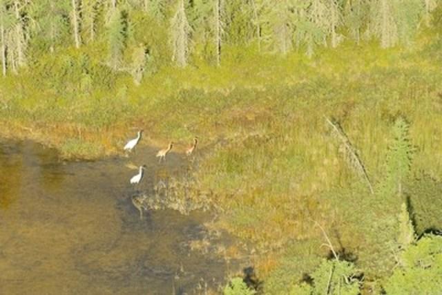 Photo d'un couple de grues accompagnées de leurs oisillons jumeaux, prise lors du relevé de nidification 2016 de la grue blanche au parc national Wood Buffalo. Il est très inhabituel pour la grue blanche d'avoir des jumeaux. Elle pond généralement deux œufs, mais un seul oisillon survit. (Groupe CNW/Parcs Canada)