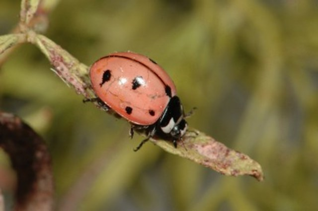 Nine-spotted Lady Beetle © John Acorn (CNW Group/Committee on the Status of Endangered Wildlife in Canada)