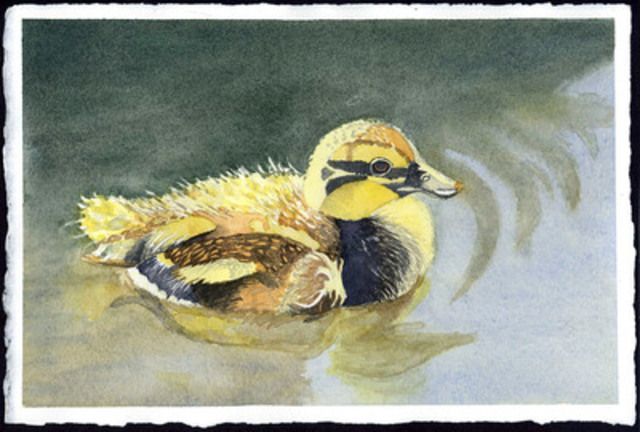 """Mallard Duckling"" by Alexandria Swartz, 12, Toronto, ON. (CNW Group/CANADIAN WILDLIFE FEDERATION)"